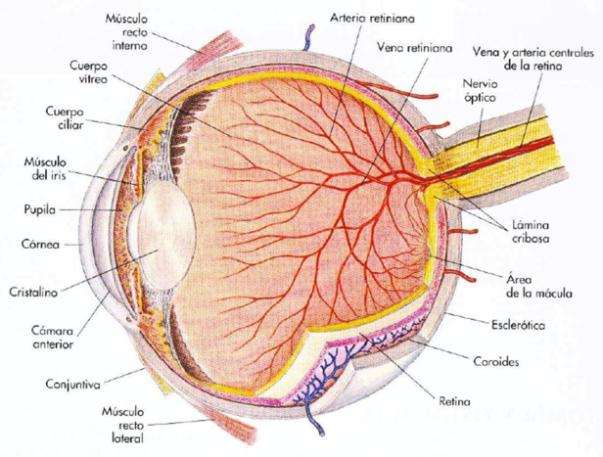 anatomía_ojo_01