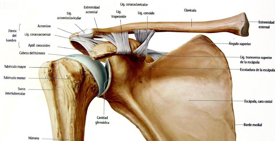 Anatoispea: Articulación del Hombro